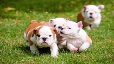 Photo of Bulldogs – A Guide to the Breed Before Buying